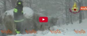 Sisma e neve: gli allevatori rischiano la vita per salvare le mandrie in difficoltà (Video)