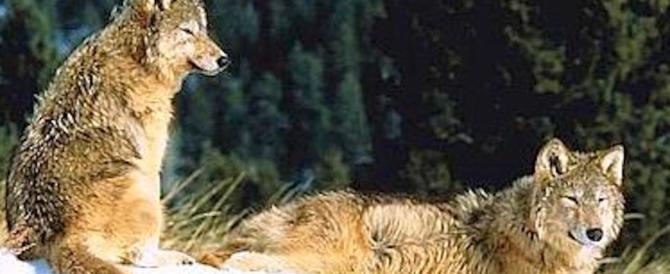 Il Wwf lancia la campagna salva-lupo. Ogni anno ne vengono uccisi 300, vanno aiutati