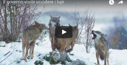 Dal 2 febbraio sarà legale uccidere i lupi in tutta Italia. Ecco perché (VIDEO)
