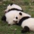 Debutto in società per i baby panda: festa allo zoo di Chongqing (video)