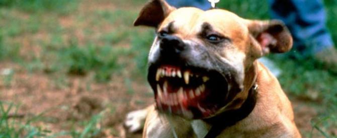 Due pitbull inferociti assediano in casa la proprietaria e il figlio