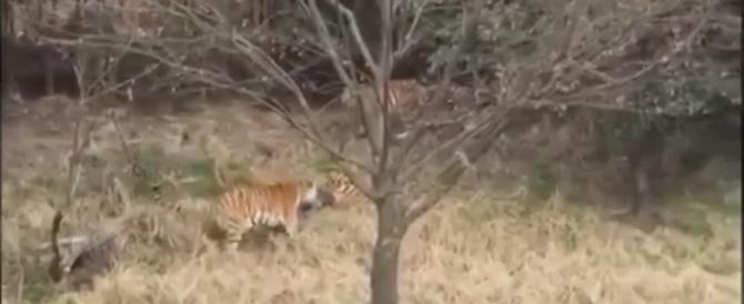 Sbranato dalle tigri allo zoo in Cina: la tragedia sotto gli occhi dei familiari