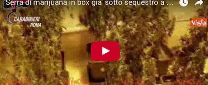 """Serre di marijuana scoperte in tre box: si cercano i """"coltivatori diretti"""" (video)"""