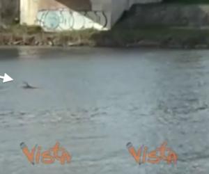 """Un delfino nell'Arno fa impazzire i turisti. Il suo nome è """"Bischero""""… (video)"""