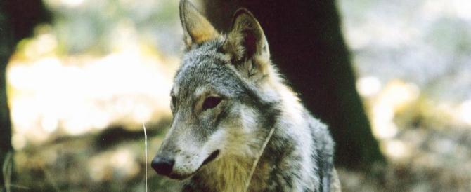 I lupi salvati dalle Regioni: il ministero pronto a rinviare l'abbattimento
