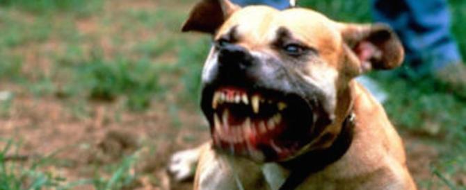 Un pitbull lo morde e gli stacca una falange mentre esce col suo cagnolino