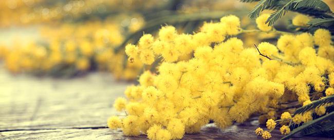 L'allarme dei fiorai: le mimose vanno ancora, ma ci sono troppi irregolari