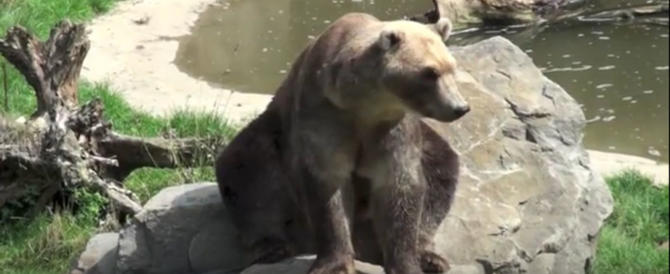 """L'orso """"cappuccino"""" scappa dallo zoo e viene abbattuto (video)"""
