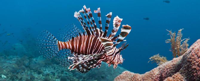 Estate col rischio: avvistato il pesce scorpione nei mari italiani