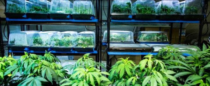 Nascondeva 100 kg di marijuana e 9mila piante: un arresto a Reggio C.