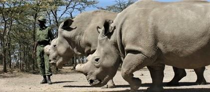 Sudafrica, spettacolare operazione di salvataggio per il rinoceronte bianco