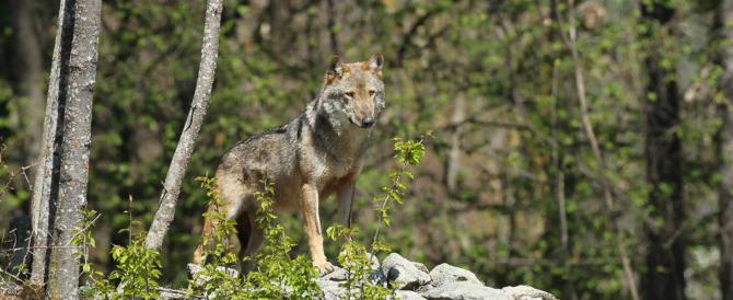 Aumentano in Trentino le segnalazioni di orsi e lupi. Avvistata anche una lince