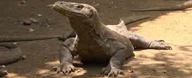 Turista aggredito da un drago di Komodo: ferito alla gamba. È grave
