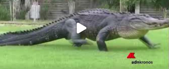Coccodrillo attraversa il campo di golf tra il terrore dei giocatori (video)