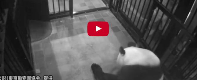 Il parto di mamma panda: così coccola il suo cucciolo (video)
