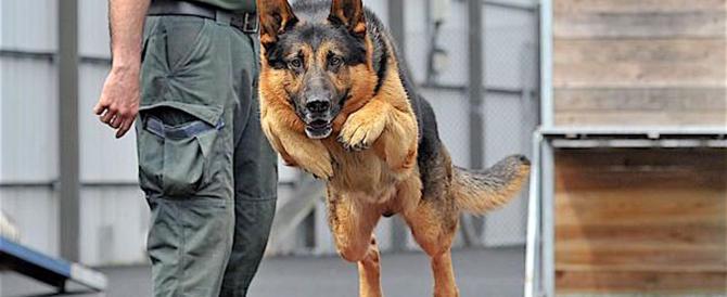 Gimbo, il cane poliziotto che trova la droga e suona il clacson (video)