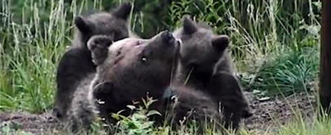 Trentino, incontro ravvicinato con l'orso: sono più di 50 (video)