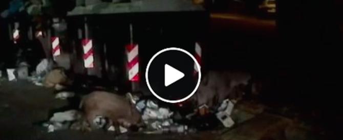 Branco di cinghiali per le vie di Roma: video-denuncia di Fratelli d'Italia