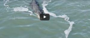 L'incredibile lotta in acqua tra un coccodrillo e uno squalo. Guarda il video