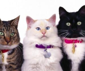 I gatti più belli del mondo? Per due giorni sono alle porte di Belluno (video)