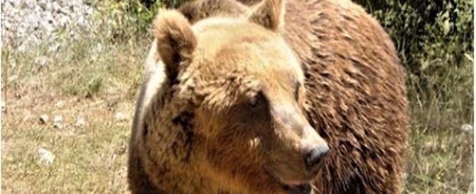 Trentino, abbattuta l'orsa che aveva aggredito un uomo il 22 luglio