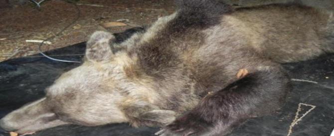 Orsa KJ2, gli animalisti: giornata di lutto, un cero per le vittime di uccisioni inutili