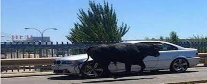 Roma, un toro invade l'autostrada A1 e provoca quattro km di coda