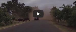 Auto sfida la mandria di bufali che attraversano: travolta e distrutta (video)