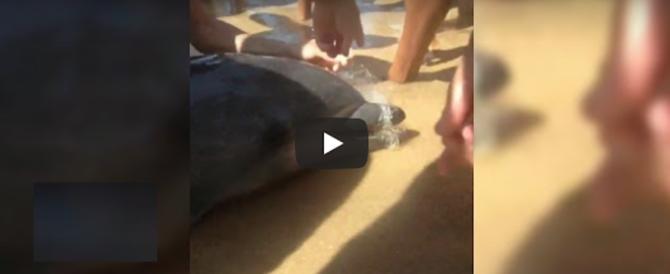 """Delfino """"curioso"""" resta impigliato nella rete, i bagnanti lo liberano (video)"""