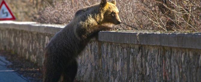 L'orsa Peppina è tornata a Sulmona. E in Abruzzo non l'ammazzano… (video)
