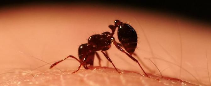 """Psoriasi, studio Usa: """"È efficace la terapia con le formiche guerriere"""""""