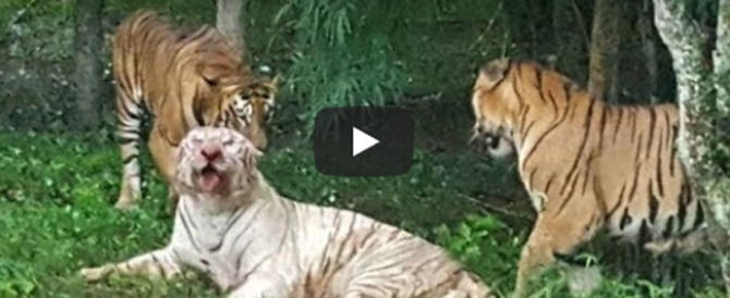 Rarissima tigre bianca attaccata e sbranata nello zoo (video)