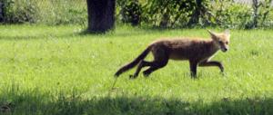 Roma al tempo della Raggi: scuola invasa dalle volpi. Alunni chiusi in classe