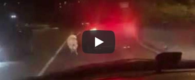 Trascina il cane dall'auto in corsa: è caccia all'automobilista sconsiderato (video)