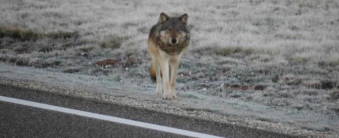 Choc nel Riminese, lupo ucciso e appeso sanguinante per le zampe alla fermata del bus
