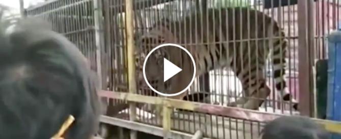 Accarezza la tigre in gabbia. La conseguenza è drammatica (video)