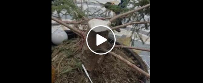 Napoli, tradizione rispettata: segato e rubato l'albero di Natale della Galleria (video)