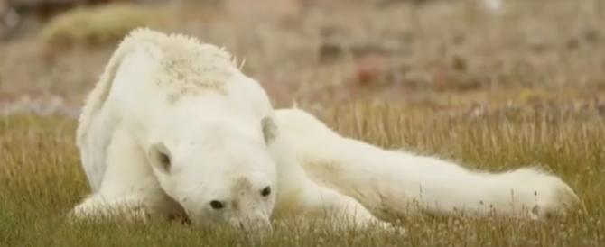 L'orso polare che muore di fame condiviso in tutto il mondo. Un video drammatico
