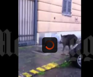 Roma, i cinghiali arrivano a Trastevere: «Virgi', se famo due salsiccette?» (video)