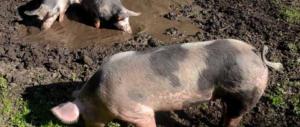 Epidemia di peste suina: strage di maiali selvaggi in Sardegna