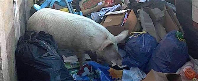 Raggi irritata dalla denuncia di Giorgia Meloni: il maiale è dei Casamonica