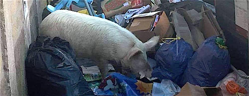 Un maiale grufola fra i rifiuti della Capitale.. Il reuccio dei rifiuti capitolini, Manlio Cerroni, dice: «oramai è troppo tardi, servirebbe un miracolo»