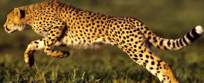 Brindisi: trovati cani uccisi, è caccia al ghepardo in tutta la provincia