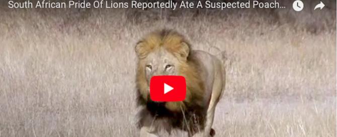 Cacciatore sbranato da un branco di leoni: intatta solo la testa (video)