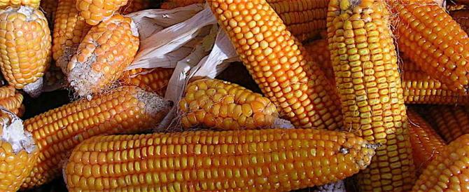 Dopo vent'anni di divieti, la scienza promuove il mais ogm: è sicuro