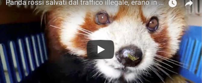 Salvati tre panda rossi in via di estinzione: erano stipati in un furgone (video)