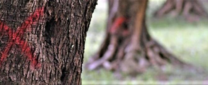 Xylella, è allarme in Puglia: triplicati gli alberi infetti, si deve intervenire