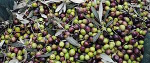 """Gli olivicoltori italiani: sul """"panel test"""" non arretriamo neanche un millimetro"""