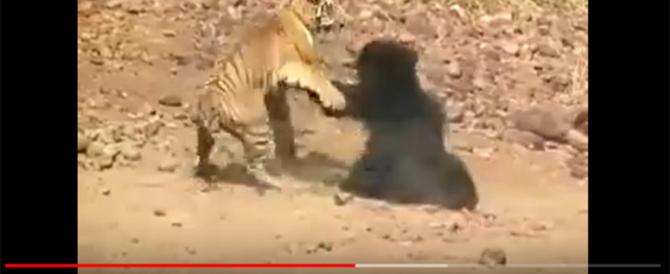 Orso contro tigre, l'incredibile combattimento con finale a sorpresa (video)