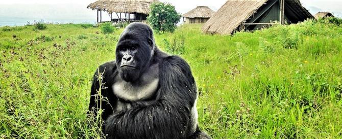 Agguato in Congo: uccisi sei ranger nel santuario dei gorilla di montagna